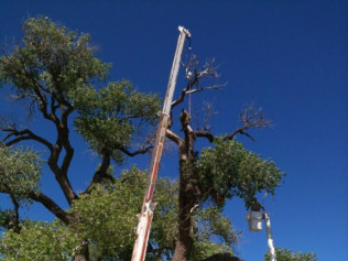 Very carefully pruning the Texas Champion Cottonwood